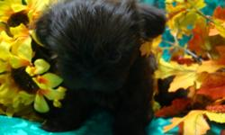 Three beautiful babies left from a litter of seven. One girl, Brea and two boys, Boone and Beau. Brea is the tiniest puppy of the litter but that doesn't slow her down at all. She loves to run and play and will cover you with sweet kisses when you pick