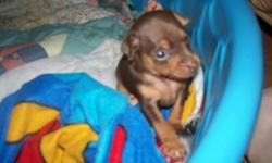 Cutest little man! Lots of personality, very smart, sleeps in his kennel all night without a fuss. He was the first born but is the smallest of the litter. Has his dewclaws removed and tail docked. As well as first set of shots and deworming done. This ad