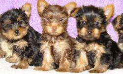 Don't miss out, this is your opportunity to have a chocolate yorkshire terrier as a companion. Abby is a purebred one-year-old Yorkshire terrier looking for a new home. She has a wonderful personality and amazing chocolate coat. All her shots are up to