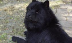 Chow Chow Puppies. I have 4 purebreed Chow Chow Puppies from the first litter and 6 from the second litter. From the first 4 there are three females and one Male. the first litter will be ready for sale on November 23 with there first shots and vet