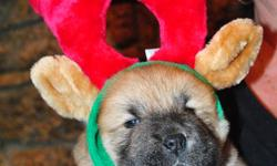 Beautiful Chow Chow Puppies for sale. 3 left, 1 black female, 1 black male, 1 red female. Ready to go Jan10th to 17th. Champion bloodlines.  CKC Registered, vaccinated, vet certified, de-wormed and microchipped.     www.bearcrestchows.com  807-346-8955