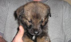 Puppies available for adoption on December 2, 2011. Mixed breed ( part Husky, Retriever, and Lab ). De-wormed. 6 Female and 2 Male. Only puppy #7 remaining for adoption. Please call 834-1478 for information. No emails please.