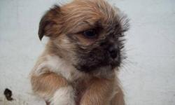 pup 3 SOLD, pups 5 and 8 SOLD PP. Mom is a Shih-su, Jack Russel mix, there are two males (Dad's) on site...some from each Shih-su/pug/boston mix (I think) and pug/boston mix 5 girls, 3 boys Pups will be 8wks Dec 4 Get them home, and settled, before the