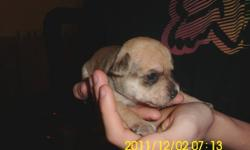 I have 2 female and one male chuhahua puppies ready in 6 weeks. The parents are both present. 600.00
