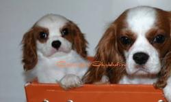 Canadian Kennel Club Registered Cavalier King Charles Puppies! Loving and gentle puppies from health tested parents and championship lines, exceptional pedigrees. Gorgeous puppies lovingly raised and socialized in our home. Our Cavalier puppies and