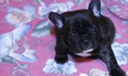 The sire of the litter is the number 9 frenchie in Canada 2010, he is cream in colour. Both dogs are very short in body and very loveable. I am expecting great things from outcrossing this litter from the Daystar lines in the USA to some of the best dogs