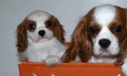 Canadian Kennel Club Registered Cavalier King Charles Puppies lovingly raised locally in Moose Jaw Sask! Only 1 Girl Left!! Ready to go! Loving and gentle puppies from health tested parents and championship lines, exceptional pedigrees. Gorgeous puppies