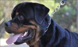 Nero is a show qualify beautiful male from a famous stud in the USA named Gir vom hause milsped   Both his parents are International Champions, All shots to date and is ofa'd . He has a very short muzzle and big head ex conformation and dark pigment. .
