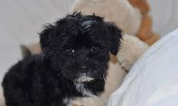 We have one male puppy left.  He is a healthy, gorgeous CKC Havanese male puppy that was born on September 29, 2011.  There were 4 boys in this litter.     This black and white male is very playful, loves running around and playing with toys and people.