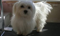 BEAUTIFUL HAPPY PLAYFUL AND WITH WONDERFUL TEMPERMENTS. THEY HAVE WHITE SILK COATS THAT DO NOT SHED AND ARE HYPO ALLERGENIC.  ALL VACCINES ARE UP TO DATE AND THEY ARE MATURE AT 6LBS. THESE LITTLE BOYS MAKE WONDERFUL COMPANIONS THAT YOU CAN TAKE ANYWHERE.