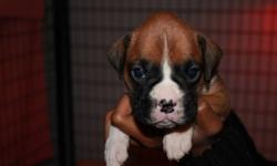 CKC REG BOXER PUPPIES FROM HEALTH TESTED PARENTS. 1 FAWN FEMALE 5 FAWN / FLASHY FAWN MALES DEWCLAWS REMOVED TAILS DOCKED WILL BE DEWORMED, TATOOED, IMMUNIZED AND HAVE A 2 YEAR HEALTH GAURANTEE. TAKING DEPOSITS TO HOLD PUPPIES UNTIL 8 WEEKS OF AGE.