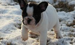 CKC reg french bulldog puppies 2 red blk mask female's and one brindle pied male. These puppies are exceptional nice short bodies, the boy has a huge head and nice nose roll, you won't find nicer, both parent's are canadian champion's with multiple group