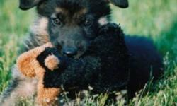 CKC Reg'd German Shepherd Puppies, Champion bloodlines, litter born August 28th 2011 (Males and Females available). All sires and dams are hip/elbows exrayed prior to breeding. Ideal temperaments for family companionship. Puppies are CKC Reg'd with a