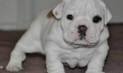 BULLDOG PUPPIES - 2 BOYS LEFT Strong championship lines, bred for health and temperament first! Gorgeous puppies to approved homes. $2800. Short and stocky. All pups sold on non-breeding contracts. UTD on shots, dewormed, chipped and 1 yr health