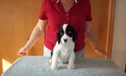 CKC REGISTERED ENGLISH SPRINGER SPANIEL MALE PUPPIES These are puppies raised in our home, so they are well socialized with adults, grandchildren and other dogs. These pups were dewormed at 5 & 7 weeks, are vet checked, have had eye checks done, tattooed