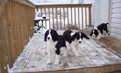 English Springer Spaniel Black and White Puppies are available to go to new loving homes. These are puppies raised in our home and have started outdoor training, they are also well socialized with adults, grandchildren and other dogs. These pups were