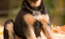 Beautiful black and red German Shepherd puppy,microchipped,dewormed, and first vaccinations.Excellent temperment.Both parent live on property,and are certified clear of hip or elbow dysplasia.Top German and American bloodlines.Ready to go now.Pictures of