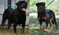Big beautiful German rottweiler puppy she is  from imported parents with famous Champion and working Bloodlines.  http://www.rottvonbrottweiler.com   Parents are health tested OFA'd  Puppy has 3 shots,wormed, vet check and micro-chip prior to leaving us