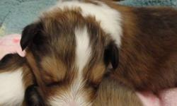 Amberlyn Shelties, PERM. REG. has CKC. Reg. Sheltie puppies.  Sable and White. Will be ready at 8 weeks of age. They come with health guarantee, 1st set of shots, microchip, 6 wks of health coverage.  You can visit my website. Amberlyn Shelties. Reg.