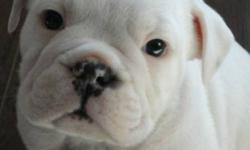 WHITE PUREBRED CKC REGISTERED ENGLISH BULL DOGS ALL MALES, WITH SHOTS, DEWORMED AND MICROCHIPPED..POTENTIAL SHOW DOGS, MOTHER ON SITE.  MUST GO ONLY 5 LEFT   FOR LOW PRICE