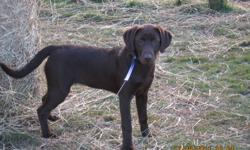 For sale a CKC registered  female chocolate lab pup.She has an excellent temperment,she will make an excellent family pet and/or hunting dog.