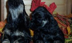 4 Beautiful Black or Black/Tan Females .Parents have great temperaments, Canadian Champion Sire, Ready to go 1st week of Feb. Tails and Dew Claws done , Will have up to date shots and de-worming. Check by a vet,  Micro chipped and Registered through the