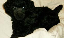 Lezerin Poodles is pleased to offer a handsome male Miniature Poodle puppy to a loving forever pet home.  He was born October 22, 2011 and will be ready to go on or after Christmas Eve.  He will leave my home vaccinated, vet checked, dewormed and tattooed