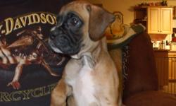 CKC REGISTERED BOXER PUPPIES ARE READY TO GO TO THEIR FOREVER HOMES THEY ARE CKC REGISTERED TATTOOED  HAD THEIR 1ST SHOT BEEN DEWORMED . THEY HAVE BEEN RAISED IN THE HOUSE WITH OTHER DOGS CATS AND BIRDS THEY ARE VERY SOCIAL HAPPY HEALTHY PUPPIES. THEY