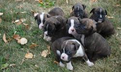 Beautiful litter of boxers, born Sept 4 we have 5 girls and two boys! Sire and Dam have excellent temperment and have been raised around children. Our Sire is ~85 pounds and Mom is ~60lbs. Excellent health. Our puppies have dew claws removed and tails