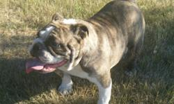 Beautiful fawn brindle fremale , good with kids and cats and other dogs , she is super sweet and very lovable , wants to be with you all the time . please call for more info because I don't have internet all the time 1-204-239-5642