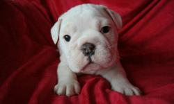 BIG BONED BREEDING ENGLISH BULLDOGS Only 4 Puppies Left- Hurry Before They're Gone   English Bulldog puppies ready and waiting for happy and loving homes 9 boys and 1 girl CKC (Canadian Kennel Club) registered, microchipped, shots, dewormed,     6 week