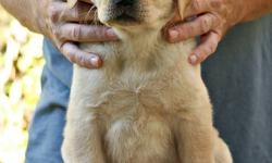"""Rayneriver Reg'd Labrador Retrievers has a """"PICK OF THE LITTER"""" YELLOW FEMALE (ENGLISH STYLE) WITH A WONDERFUL, OUTGOING TEMPERAMENT out of our recent Daisy x Bo litter looking for a loving foster home in Winnipeg or the immediate surrounding area --- one"""