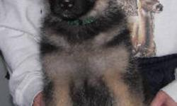 Last Mountain German Shepherds has a beautiful female pup looking for her new forever home. She is 9 weeks old and has a very outgoing and active personality. Yanna would do well in obedience, agility, tracking etc or just make a good family pet for an