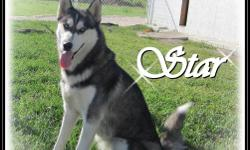 CKC registered Female Siberian Husky We have 1 adult female Siberian Husky available. All of our Siberians are family raised with young children. Our Siberians live outdoors in a big full insulated shed with large Kennels. They have a large play yard