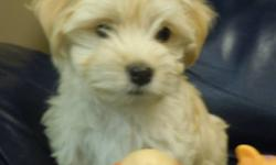 We are offering healthy, beautiful non shedding and hypo-allergenic Havanese puppies to loving homes.   Our puppies are Canadian Kennel Club registered, have their first shots, are micro-chipped for identification, dewormed and vet checked. We offer a two