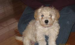 CKC reg'd Havanese puppies for sale!!!These handsome little boy is ready to go to his new homes now!!!! He is now 12 weeks old.           The havanese breed is a lovely little dog that will brighten your day with their joyfull and spunky little