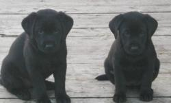 Beautiful CKC Registered Labrador Retrievers. Only 2 Black females left for sale from this gorgeous litter of 7. These pups have had their 1st vaccs. and vet-checked,Dewormed X 3. Home raised by an experienced Veterinary Technician and my 10 yr old
