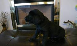 CkcRegistered Labrador Retrievers. ONLY 1 BLACK FEMALE LEFT..  Puppies born Sept. 29, 2011.  Puppies will be sold with vet check, 3 vacinations, microchipped and dewormed.  Puppies are from hunting parents.  Puppies have been socialized with children,