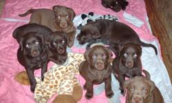 We're 6 weeks old purebred,chocolates. We are raised in the home and socialized. We have begun training and are going to the vet this week for our first needles, check-up, and deworming. We will be microchipped. to reserve a pup you can call or e-mail.
