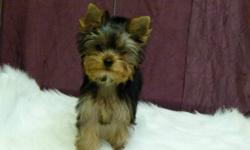 Male yorkies puppie's,have had 2 sets of shots have been dewormed.Puppies have had their tails docked and dew claws removed.Puppies come with 6 weeks of health insurance along with a 2 year health guarentee.Puppies are on a spay/nueter contract.Parents