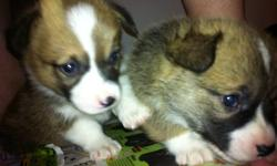 Adorable corgi pups for sale, 4 red and white males, 2 tri-colored females. These are great family dogs they are a big dog in a small dogs body, kind hearted, easy going once you own a corgi you will be hooked! these little pups come are family raised