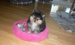 We have 1 beautiful Registered Pomeranian puppy. This lovely little girl isBlack & Tan with 4 white socks, she is well socialized and well on herr way to paper training. She has a very unique personality like her mother and she will give you hours and