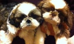 2 gorgeous male Shih Tzu Puppies, 10 weeks old and ready to leave the nest. From showdog lines. These are non-shedding dogs. The mom is an imperial sized Shih Tzu, 9 lb and the dad is the star of the show ring at 12lb. The Gold and White colored puppy