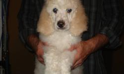 Amazing Standard Poodle puppies ready to go !!!!!.  Over half of our pups from our two litters are now living abroad or locally but we still have a variety of stunning pups waiting to find their loving forever homes.  Non-shedding, highly intelligent,