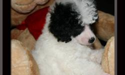 I have some beautiful Puppies available. Black, Apricot, Black and White and red and White. I also have one white teacup male. You can save $ 250.00 off the price if you buy your puppy on a spay/neuter contract. All puppies come with CKC registration, 4