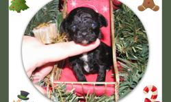 I  have a tiny teacup cream female available who should be around 2-3 lbs full growth who was born Dec 18, her price is $2500
