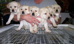 CKC Registered Yellow Labrador Retriever Pups for sale, micro chipped, wormed, first needles, health guarntees, 6 weeks free pet insurance, written contract and sold on non breeding agreement and Purina Pro Plan Puppy Pack.