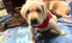 Can you think of a better Christmas present than picking your own puppy? It is the gift that keeps giving!!!!! If you are looking to add that perfect companion to your family, adding a new favourite hunting buddy, or getting in to Hunt Tests or Field
