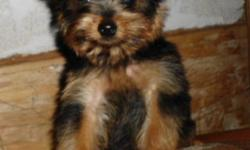 CKC Registered Yorkie puppy boy ready to go this weekend.  He is a happy, playful young lad looking for a perfect place to call home.  Massey is great with children and his best buddy is a kitten.  He is currently being housetrained.  He has been vet