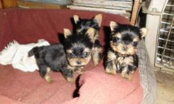 One male, should mature 3 pounds.  One female, should mature under 4 pounds.  These Yorkies are home raised by long established breeder since 1983.  Mom and Dad are here for your viewing.  All are very quiet, gentle dogs.  These two puppies are NOT